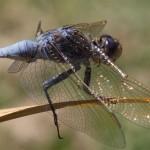 GMi Dragonfly